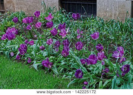 Purple Tulips In The Park In Washington Dc