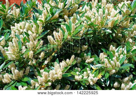 White Itea Called Little Henry Or Sweetspire