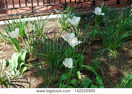 White Tulips Under The Sunlight In A Flowerbed
