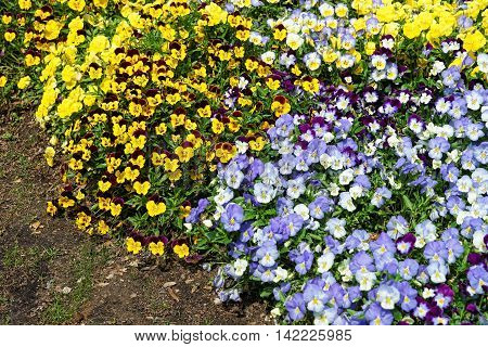Yellow And Blue Pansies In A Big Flowerbed