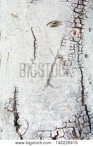 Texture bark tree , bark wood background style