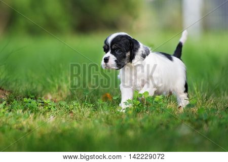 adorable american cocker spaniel puppy outdoors in summer
