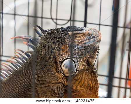 Iguana  In A Cage