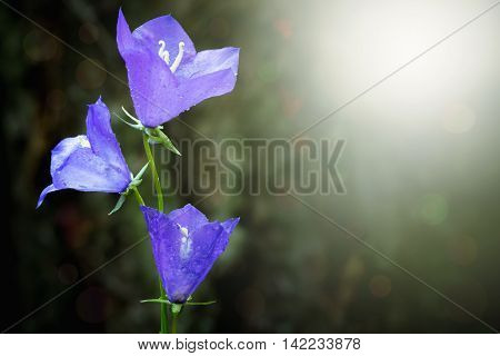 Illuminated dewy bluebell flower (Campanula persicifolia) in the morning.
