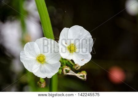 Ant on small white flower of Creeping Burhead or Echinodorus Cordifolius is a aquatic plant