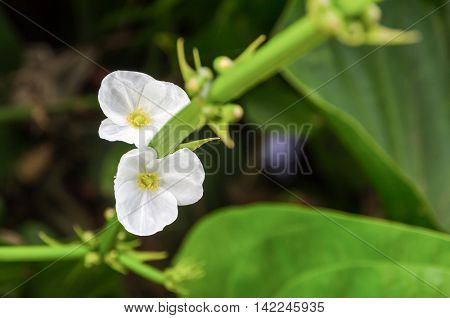 Beautiful small white flower of Creeping Burhead or Echinodorus Cordifolius is a aquatic plant