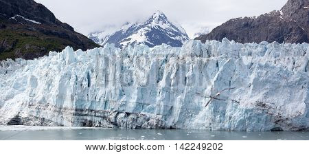 The panoramic view of a glacier with a seagull flying toward it (Glacier Bay National Park Alaska).