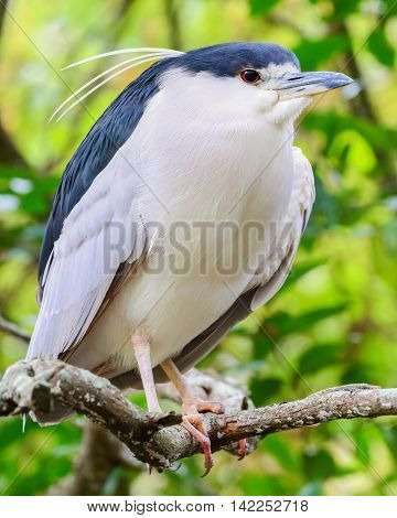 A black crown heron resting in a tree