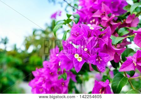 Fragrant pink Bougainvillea spectabilis flower with blurred evening background