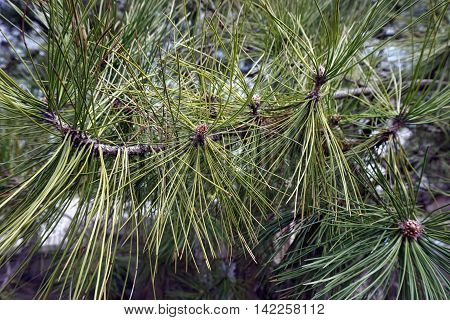 Branches, needles, and pollen cones of a red pine tree (Pinus resinosa) in Joliet, Illinois during the Spring.