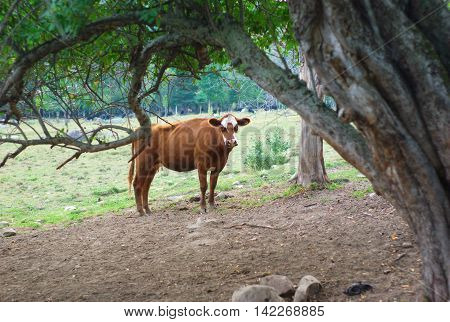 brown and white cow under a tree in a field