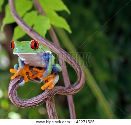 Red eye tree frog perched on heart shaped vine with natural green leaf background.