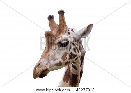 Young Cute Giraffe