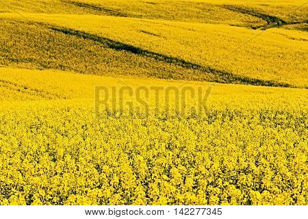 Beautiful Rape Field Summer Rural Landscape