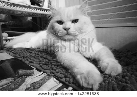 portrait of a persian white cat, looked at camera