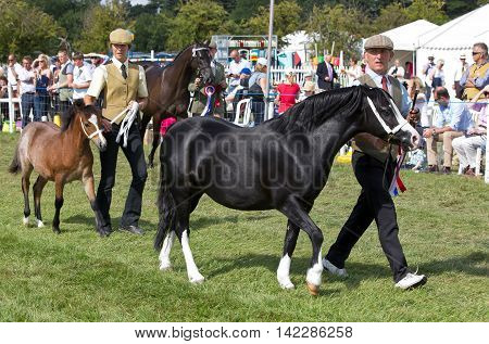 WEEDON, UK - AUGUST 29: Competitors in the young horse competition show there horses to the judges by walking them around the arena at the Bucks County show on August 29, 2013 in Weedon