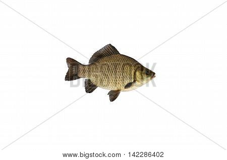 common crucian fish isolated on white background