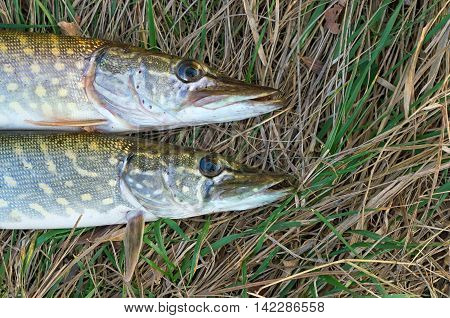 two pike lying on the dry grass in the autumn
