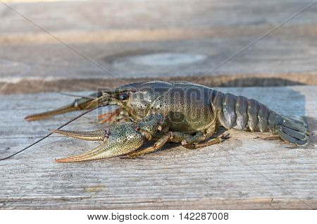 crayfish on a wooden surface in the sun