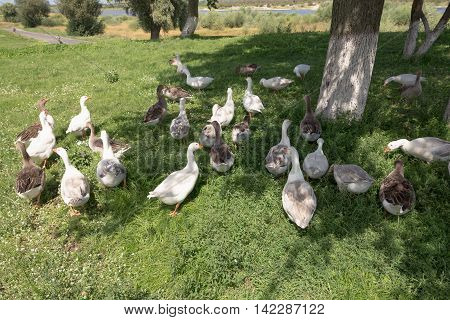 Domestic geese graze on traditional village farm.