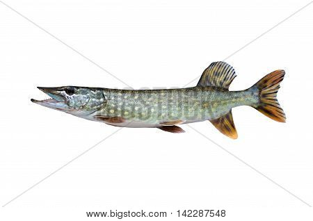 caught big pike isolated on white background