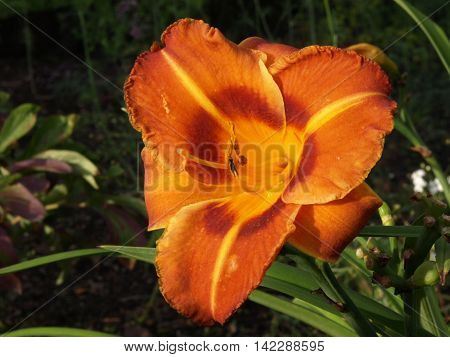 Daylily blooming in the garden evening sunset