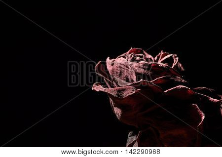 Dried rose flower. Valentine's Day. Love and trust.