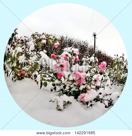 Pink rose in the snow. Snow on the pink rose. Shooting made by a lens