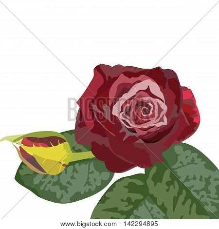 Watercolor Dark Red Rose bouquet. Vector rose flower for background greeting cards and invitations of the wedding birthday Valentine's Day Mother's Day