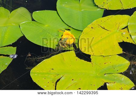 Frog sitting on the yellow water flower