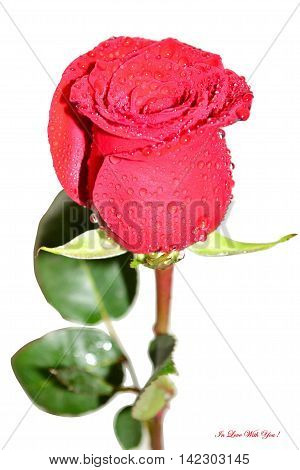 beautiful flower red rose with raindrops on her petals on a white background