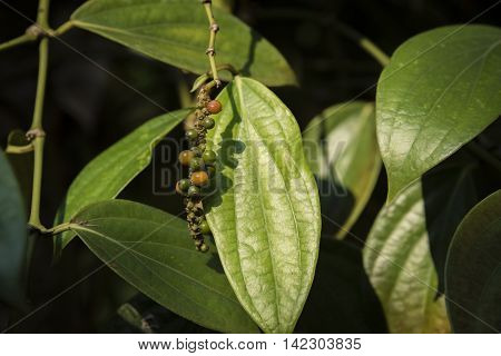 bunvh seed of pepper on a peppertree