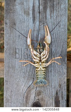Inverted big crayfish on a wooden board