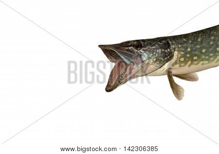pike with an open mouth isolated on white background