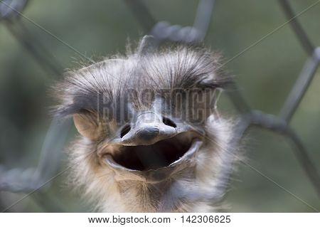 Ostrich In The Farm
