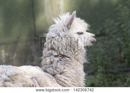 a cute alpacas rest in the farm