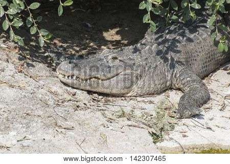 ferocious alligator in the river at sun