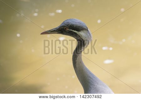 grus virgo bird at the river of pond
