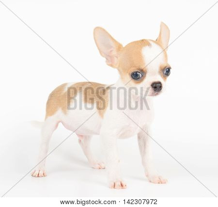 One small puppy of Chihuahua isolated on white