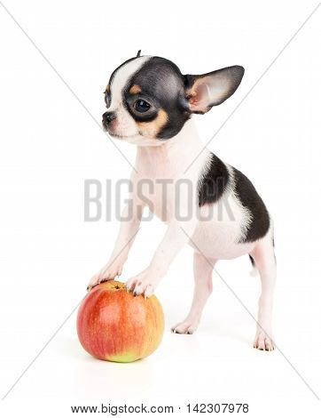 One small puppy of Chihuahua stands on apple isolated on white