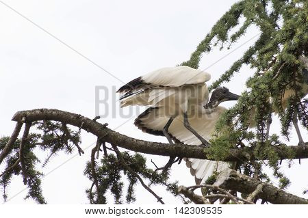 Sacred Ibis Bird On Tree
