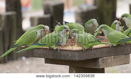 green parakeet parrot on its perch in the farm