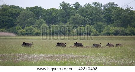 Wild Boar With Pilets Running On Meadow