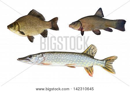 pike tench and crucian carp isolated on white background