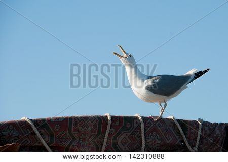Gull with open beak on a clear blue sky