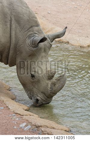 a big rhino drinking at the river