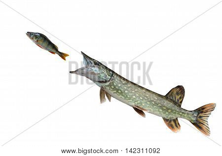 pike pursuing perch isolated on white background