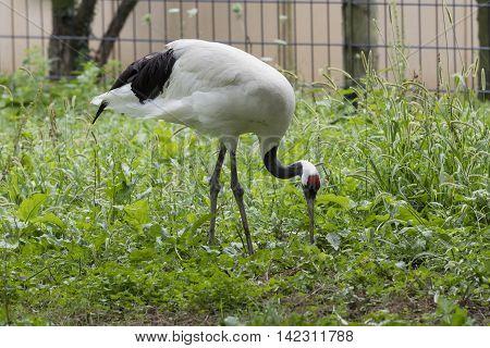 manchurian cranes bird walking in the farm