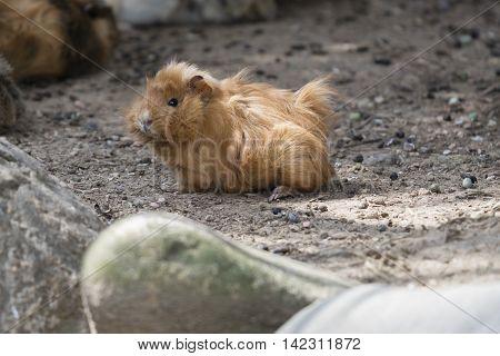 Guinea Pig In The Farm
