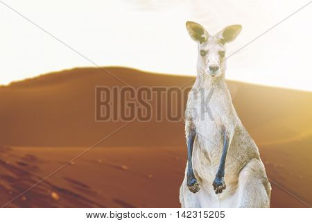 Kangaroo in Australia Outback